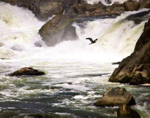 Heron over Great Falls. Great Falls Park, George Washington Memorial Parkway and Chesapeake & Ohio Canal National Park