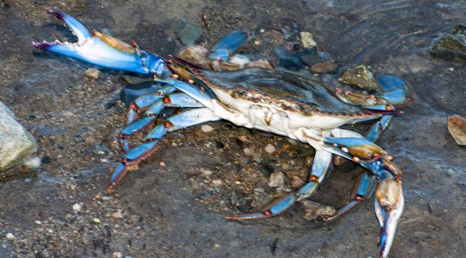 NC's Crustaceans, Shellfish Make A Big Splash | Coastal Review Online