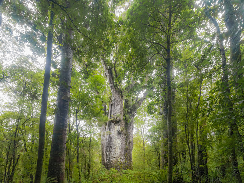 A giant kauri tree grows in Waipoua Forest in Northland, New Zealand. Trees like this one that fell long ago and were preserved for thousands of years are helping researchers discern fluctuations in the Earth's magnetic poles. Kim Westerskov/Getty Images
