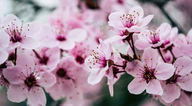 Library Debuts Video Series for 2021 Cherry Blossom Festival