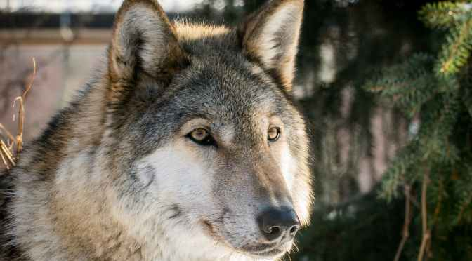 The Wolf Song | Video