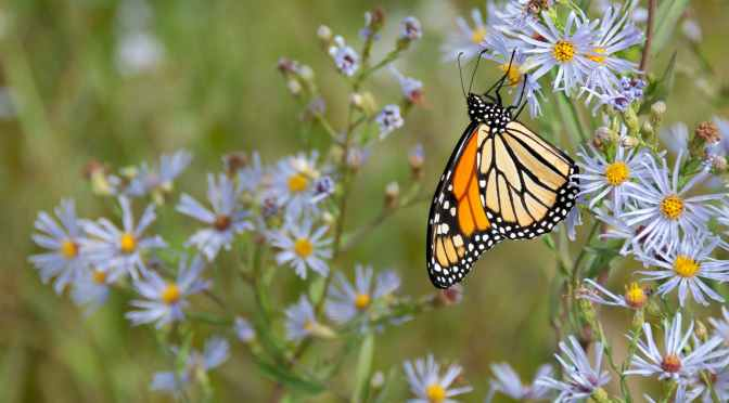 Monarch butterflies are beloved—and declining for this sad reason | Popular Science