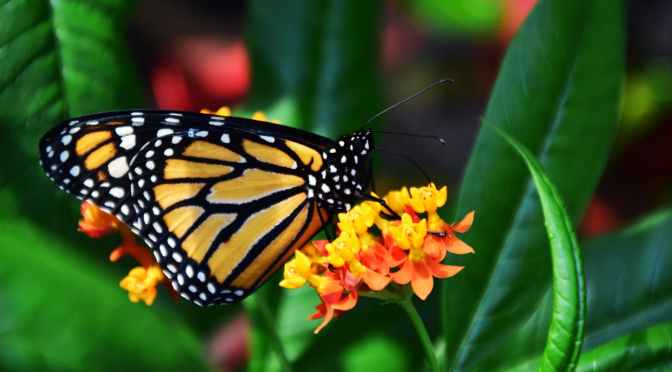 Why Is the Eastern Monarch Butterfly Disappearing? Is There Something We Can Do About It? | SCITECHDAILY
